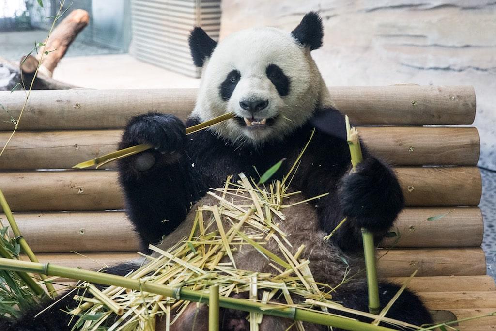 Jiao Qing aus dem Panda Garden im Zoo Berlin