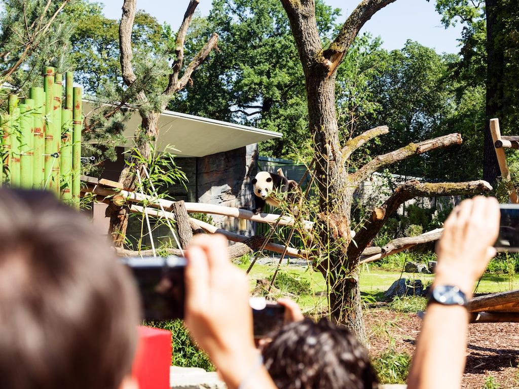 Zuschauer fotografieren Panda im Panda Garden des Zoos Berlin