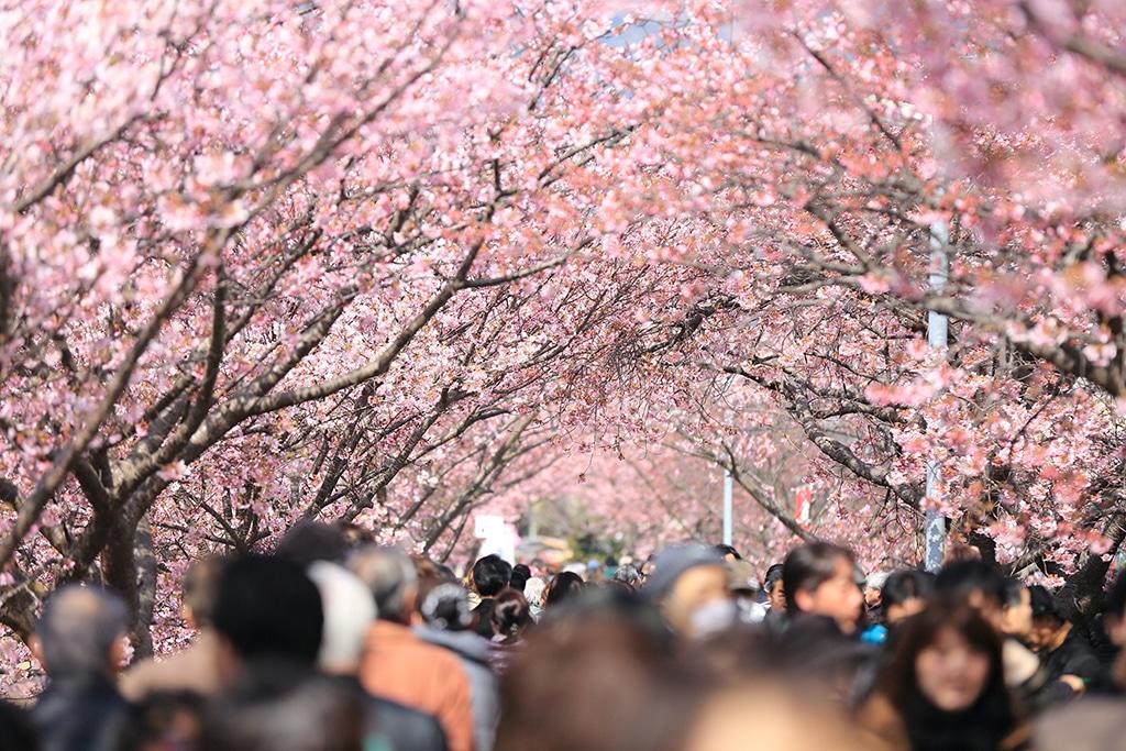 Mit Menschen überfüllter Kirschbaumweg